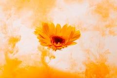 Κίτρινο astra χρυσάνθεμων κόκκινο εσωτερικών ακρυλικό υποβρύχιο χρώμα χρώματος υποβάθρου νερού άσπρο κάτω από το καυτό πορτοκάλι  στοκ εικόνες
