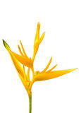Κίτρινο begonia Στοκ φωτογραφία με δικαίωμα ελεύθερης χρήσης