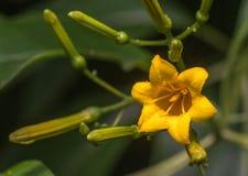 Κίτρινο Bellflower Στοκ Εικόνες