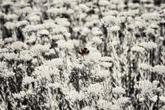 Κίτρινο bumble-bee και άχρωμα λουλούδια sedum στοκ φωτογραφία με δικαίωμα ελεύθερης χρήσης