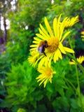 Κίτρινο Bumblebee της Daisy σε ένα λουλούδι στοκ φωτογραφίες