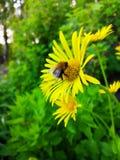 Κίτρινο Bumblebee της Daisy σε ένα λουλούδι στοκ φωτογραφία με δικαίωμα ελεύθερης χρήσης