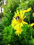 Κίτρινο Bumblebee της Daisy σε ένα λουλούδι στοκ φωτογραφίες με δικαίωμα ελεύθερης χρήσης