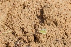 Κίτρινο butterflie στην υγρή άμμο στοκ εικόνες με δικαίωμα ελεύθερης χρήσης
