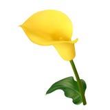 Κίτρινο calla λουλούδι ελεύθερη απεικόνιση δικαιώματος