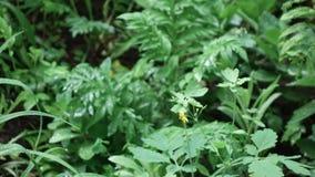 Κίτρινο celandine λουλουδιών φιλμ μικρού μήκους