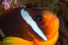 Κίτρινο clownfish στο πορτρέτο κινηματογραφήσεων σε πρώτο πλάνο anemone υποβρύχιο με ραβδώσεις volitans Ερυθρών Θαλασσών pterois  Στοκ εικόνες με δικαίωμα ελεύθερης χρήσης