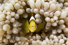 Κίτρινο clownfish Στοκ Εικόνες