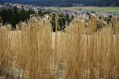 Κίτρινο cornfield ελατήριο Στοκ εικόνα με δικαίωμα ελεύθερης χρήσης