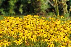 Κίτρινο Cornflower (Echinacea) Στοκ Εικόνες