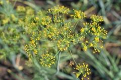 Κίτρινο corolla του φρέσκου πράσινου άνηθου στο καλοκαίρι στοκ εικόνες