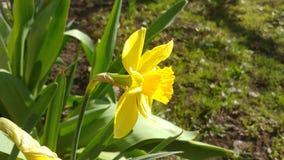 Κίτρινο daffodil που φυσά στον αέρα φιλμ μικρού μήκους