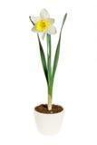 Κίτρινο daffodil σε ένα δοχείο λουλουδιών στο άσπρο υπόβαθρο Στοκ Φωτογραφίες