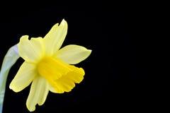 Κίτρινο daffodil Στοκ φωτογραφία με δικαίωμα ελεύθερης χρήσης