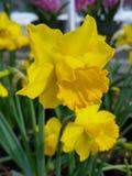 Κίτρινο daffodil Στοκ φωτογραφίες με δικαίωμα ελεύθερης χρήσης