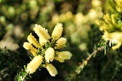 Κίτρινο dealbata ακακιών στον κήπο στοκ εικόνες με δικαίωμα ελεύθερης χρήσης