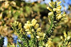 Κίτρινο dealbata ακακιών στον κήπο στοκ εικόνα
