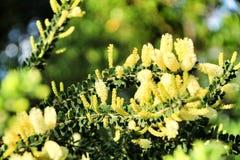 Κίτρινο dealbata ακακιών στον κήπο στοκ εικόνες