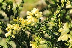 Κίτρινο dealbata ακακιών στον κήπο στοκ φωτογραφίες με δικαίωμα ελεύθερης χρήσης