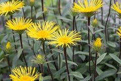 Κίτρινο Downy Elecampane (hirta Inula) σε έναν κήπο στο Γκέτινγκεν, Γερμανία Στοκ εικόνα με δικαίωμα ελεύθερης χρήσης