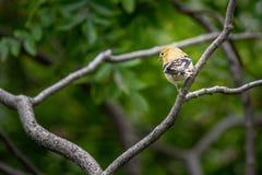 Κίτρινο finch σε ένα δέντρο στοκ φωτογραφία