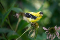 Κίτρινο finch σε ένα δέντρο στοκ φωτογραφίες