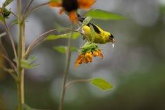 Κίτρινο finch σε ένα δέντρο στοκ φωτογραφίες με δικαίωμα ελεύθερης χρήσης