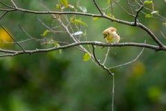 Κίτρινο finch σε ένα δέντρο στοκ φωτογραφία με δικαίωμα ελεύθερης χρήσης