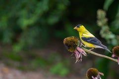Κίτρινο finch σε ένα δέντρο στοκ εικόνα