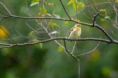 Κίτρινο finch σε ένα δέντρο στοκ εικόνες