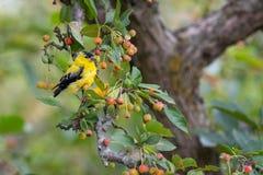 Κίτρινο finch σε ένα δέντρο στοκ εικόνα με δικαίωμα ελεύθερης χρήσης