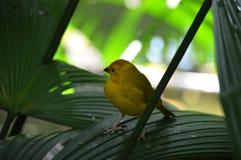Κίτρινο finch σε ένα φύλλο στοκ φωτογραφία με δικαίωμα ελεύθερης χρήσης