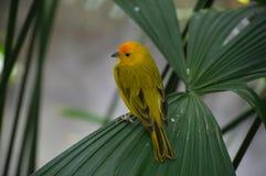 Κίτρινο finch σε ένα φύλλο στοκ φωτογραφίες με δικαίωμα ελεύθερης χρήσης