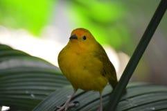 Κίτρινο finch σε ένα φύλλο στοκ εικόνα