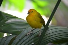 Κίτρινο finch σε ένα φύλλο στοκ φωτογραφία