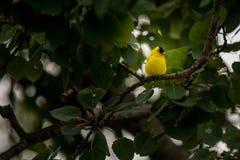Κίτρινο finch στο δέντρο στοκ εικόνα με δικαίωμα ελεύθερης χρήσης