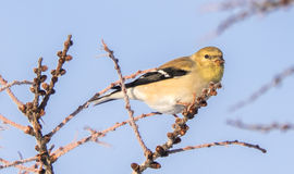 Κίτρινο Finch το χειμώνα στοκ εικόνες