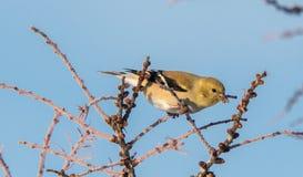 Κίτρινο Finch το χειμώνα στοκ φωτογραφία