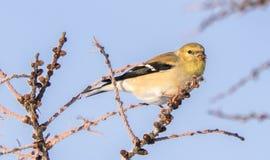 Κίτρινο Finch το χειμώνα στοκ εικόνα