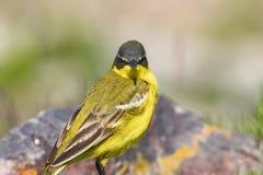 Κίτρινο flava Wagtail Motacilla πουλιών στενό επάνω, δυτικό κίτρινο στοκ εικόνα
