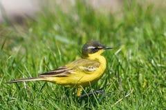 Κίτρινο flava Wagtail Motacilla πουλιών στενό επάνω, δυτικό κίτρινο στοκ εικόνα με δικαίωμα ελεύθερης χρήσης