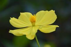 Κίτρινο floewer Στοκ Εικόνες