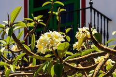 Κίτρινο frangipani ανθίσματος, plumeria Στοκ φωτογραφίες με δικαίωμα ελεύθερης χρήσης