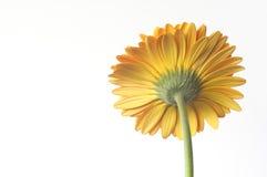 Κίτρινο Gerber Στοκ Φωτογραφίες