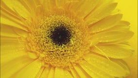 κίτρινο gerbera δονούμενο, φυσικός, λεπτομέρεια υγρή απόθεμα βίντεο