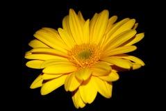 Κίτρινο gerbera στοκ εικόνες