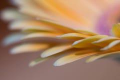 Κίτρινο gerbera Στοκ Φωτογραφίες