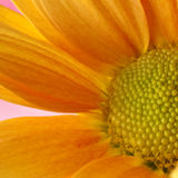Κίτρινο gerbera Στοκ Φωτογραφία
