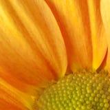 Κίτρινο gerbera Στοκ εικόνα με δικαίωμα ελεύθερης χρήσης