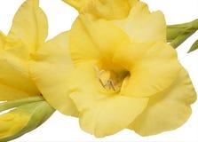 Κίτρινο gladiolus λουλουδιών Στοκ φωτογραφία με δικαίωμα ελεύθερης χρήσης